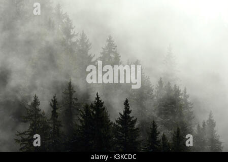 Thick alpine coniferous forest in the fog. - Stock Photo