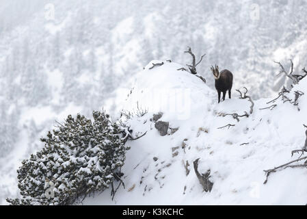 chamois on a snow-covered projection below the summit of the Herzogstand. - Stock Photo