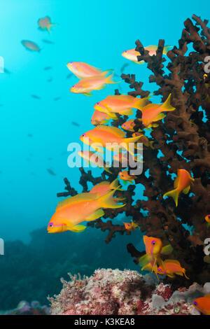 Lyretail Anthias over Coral Reef, Pseudanthias squamipinnis, South Male Atoll, Maldives - Stock Photo