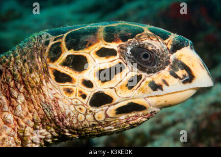 Head of Hawksbill Sea Turtle, Eretmochelys imbricata, Felidhu Atoll, Maldives - Stock Photo