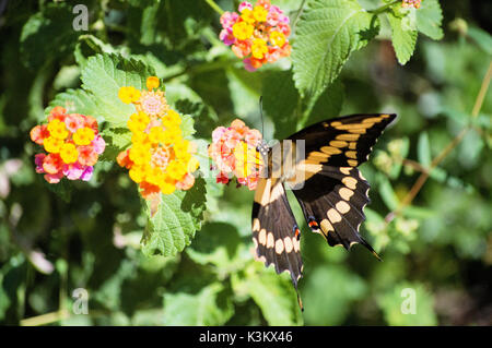A landed swallow tail butterfly sucking nectar from a multi-color lantana plant. - Stock Photo