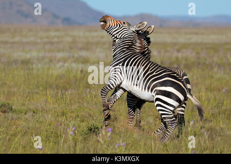 Cape mountain zebra stallions (Equus zebra) fighting, Mountain Zebra National Park, South Africa - Stock Photo