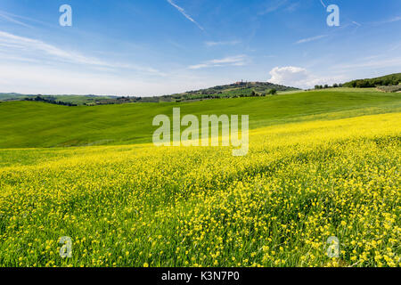 Expanse of rapeseed flowers and the town of Pienza on the background. Orcia Valley, Siena district, Tuscany, Italy. - Stock Photo