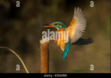 Kingfisher that returns on the perch, Trentino Alto-Adige, Italy - Stock Photo