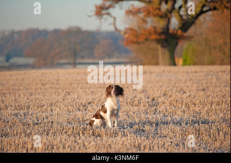 Springer spaniel on an Autumn morning - Stock Photo