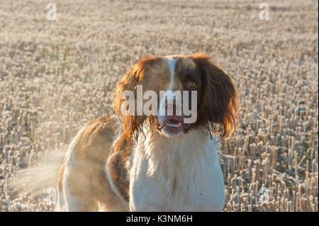 Springer spaniel on an Autumn morning - Stock Photo