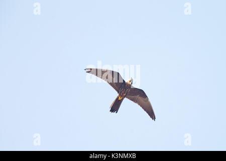 Eleonora's Falcon (Falco eleonorae), flying overhead looking down, Essaouira, Morocco. - Stock Photo