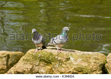 Pair of feral pigeons Columba livia standing on a large stone by the waterside - Stock Photo