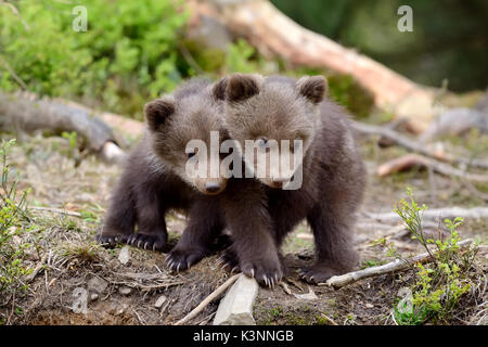 Young brown bear in the forest. Portrait of brown bear. Animal in the nature habitat. Cub of brown bear without - Stock Photo
