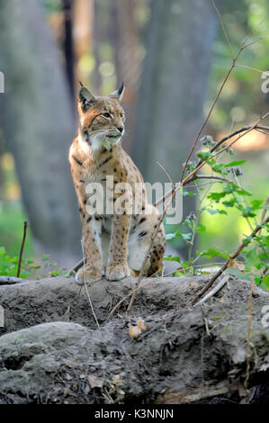 Close Eurasian Lynx in the forest - Stock Photo