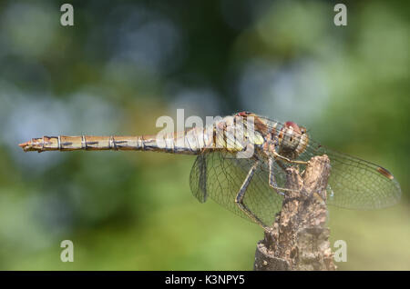 A male Common Darter dragonfly (Sympetrum striolatum) rests on a stick. Bedgebury Forest, Kent, UK - Stock Photo