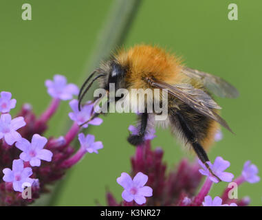 A worker common carder bee  (Bombus pascuorum) forages on a Verbena bonariensis flower head. Bedgebury Forest, Kent, - Stock Photo