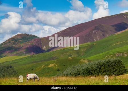 One grazing sheep in Latrigg hill across mount Skddaw overlooking Keswick and lake Derwent Water, Cumbria, UK - Stock Photo