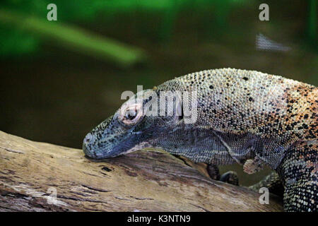 A Head Shot of a Komodo dragon Resting on a log with a natural background. - Stock Photo