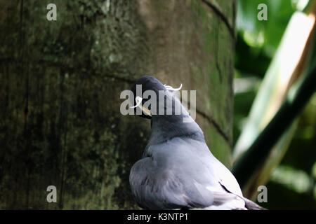 A Peruvian Bird, an  Inca Tern with a big red beak. - Stock Photo