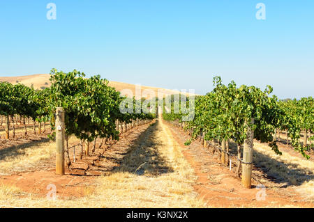 Rows of grapevines in the Barossa Valley - SA, Australia - Stock Photo