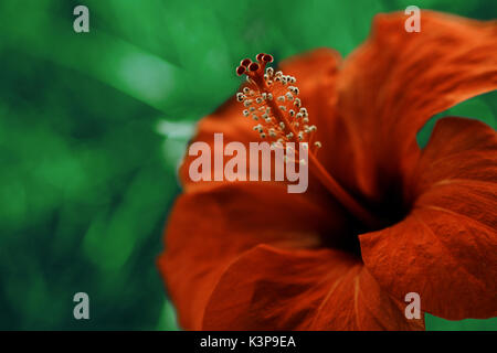 Red hibiscus close-up. Bright large flower of red hibiscus in nature background. - Stock Photo