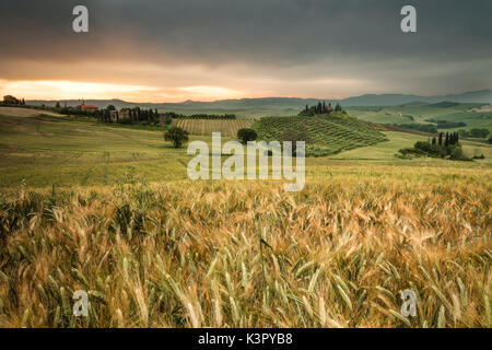 Sunrise on the fields of ears of corn and the gentle green hills of Val d'Orcia province of Siena Tuscany Italy - Stock Photo
