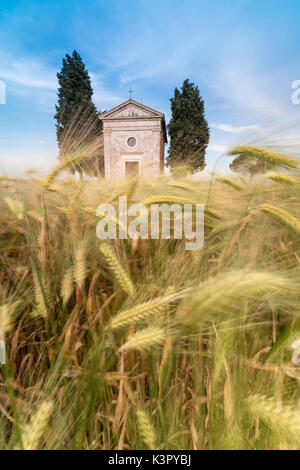 Fields of ears of corn on the gentle green hills of Val d'Orcia province of Siena Tuscany Italy Europe - Stock Photo