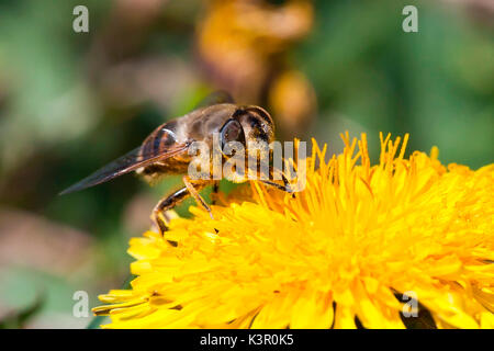 A bee sucking nectar from a dendelion. Lombardy Italy Europe - Stock Photo