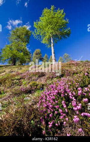 Erica carnea (winter heath, winter flowering heather, spring heath, alpine heath) is a species of flowering plant - Stock Photo
