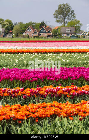 Multicolored tulip fields frame the village in spring Berkmeer Koggenland North Holland Netherlands Europe - Stock Photo