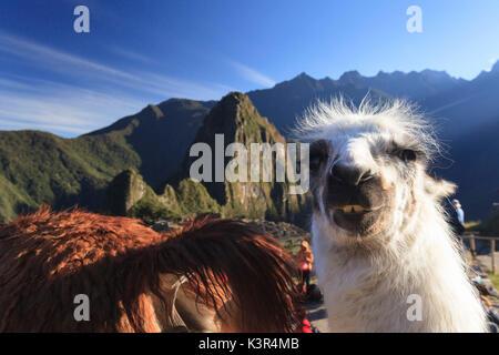 Llama at the iconic archeological site of Machu Picchu in the Cusco Region, Urubamba Province, Machupicchu District, - Stock Photo