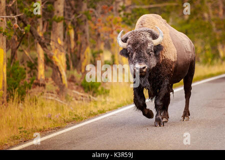 Buffalo walking down the road - Stock Photo