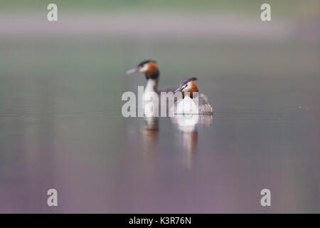 Iseo Lake, Lombardy, Italy. Great crested grebe. - Stock Photo