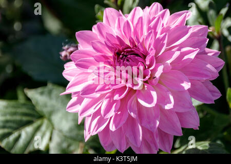 Head of pink dahlia in foliage - Stock Photo