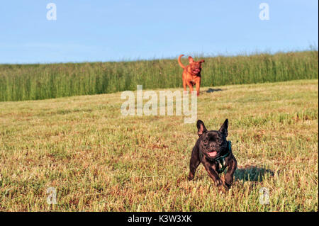 Dogue de Bordeaux  and French bulldog running in a field, dogs - Stock Photo