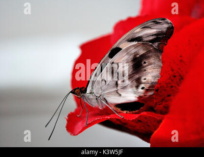 a butterfly posing light on a rose petal. photograph taken in the greenhouse. Florence, Italy - Stock Photo