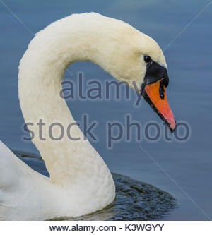 White Mute Swan (Cygnus olor) head and neck from the side view, swimming in calm blue water in the UK, in portrait. - Stock Photo