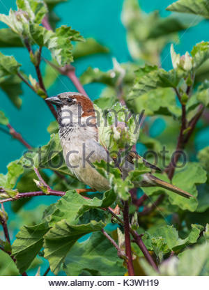 Adult male House Sparrow (Passer domesticus) perched on a bush in Spring in West Sussex, England, UK. House Sparrow - Stock Photo