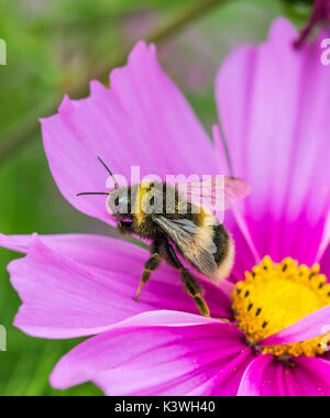 Buff Tailed Bumblebee (Bombus terrestris) on a pink Cosmos bipinnatus flower in Summer in West Sussex, UK. Bumblebee - Stock Photo