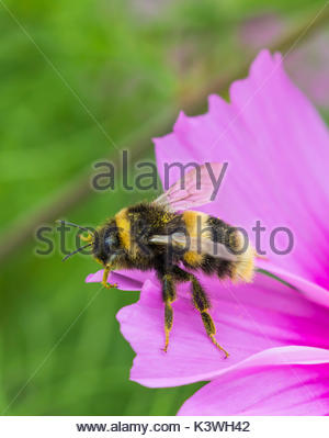 Bumblebee macro portrait with copy space. Bombus terrestris (Buff Tailed Bumblebee) on a Cosmos bipinnatus flower - Stock Photo