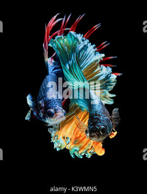 Betta fish, Betta splendens Siamese fighting fish 'Rosetail VS Trairong Crown tail' - Stock Photo