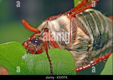 cockchafer (Melolontha melolontha) adult eating a oak leaf - Stock Photo