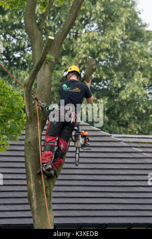 Tree surgeon working in protective gear, using climbing ropes for safety & with chainsaw, is high in branches of - Stock Photo
