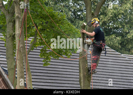 Tree surgeon working in protective gear, using climbing ropes for safety & holding chainsaw, high in branches of - Stock Photo