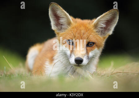 Young fox looking straight into the camera whilst lay down - Stock Photo