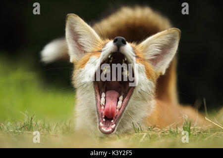 Young fox having a big yawn - Stock Photo