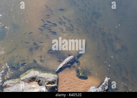Overhead view of a Nile crocodile resting in the shallows with a school of tilapia fish swiming around him in the - Stock Photo