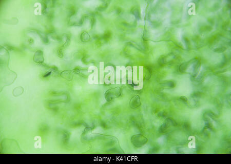 Lettuce cells under microscope, magnification x 400 - Stock Photo
