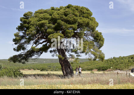 A centuries old big pine tree surrounded by yellow corn fields - Stock Photo