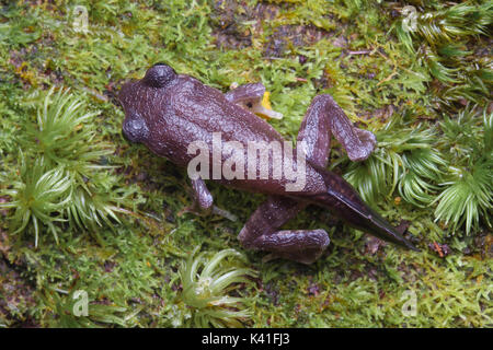 Mountain Slender Litter Frog (Leptolalax sabahmontanus) Froglet - Stock Photo