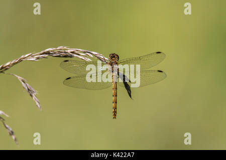 Common darter (Sympetrum striolatum) on grass, dorsal view. Female dragonfly in the family Libellulidae - Stock Photo