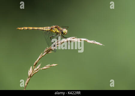 Common darter (Sympetrum striolatum) profile on grass. Female dragonfly in the family Libellulidae, showing black - Stock Photo