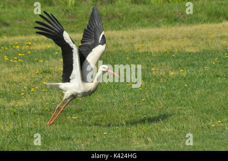 The white stork looking for food in the meadow. Long red legs and beak. Mowing the meadows. - Stock Photo