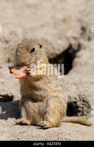 European ground squirrel (Spermophilus citellus), also known as the European souslik, species from the squirrel - Stock Photo